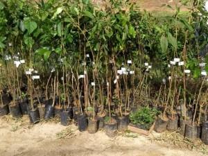 Secretaria de Meio Ambiente realiza distribuição de mudas