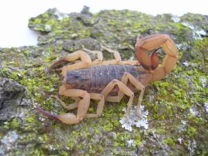 Vigilância em Saúde alerta para cuidados a tomar com escorpiões